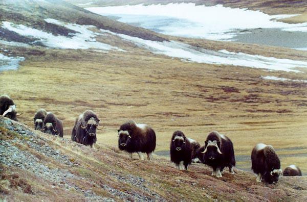Фото №3 - Современников мамонта сослали на Таймыр