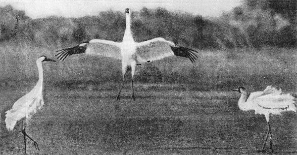 Фото №1 - Журавль - птица редкая