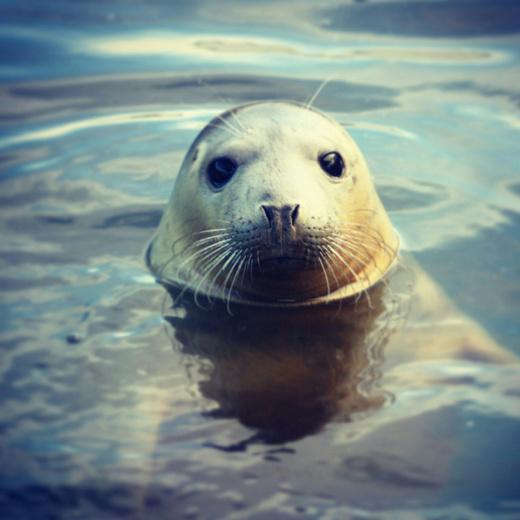 сонник тюлень