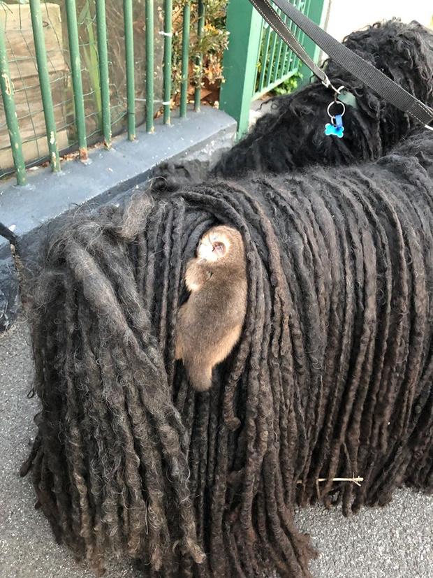 Фото №3 - Хозяйка собак обнаружила у них в шерсти двух малышей опоссумов