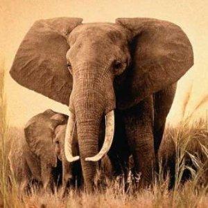 Фото №1 - Слону подобрали родственников