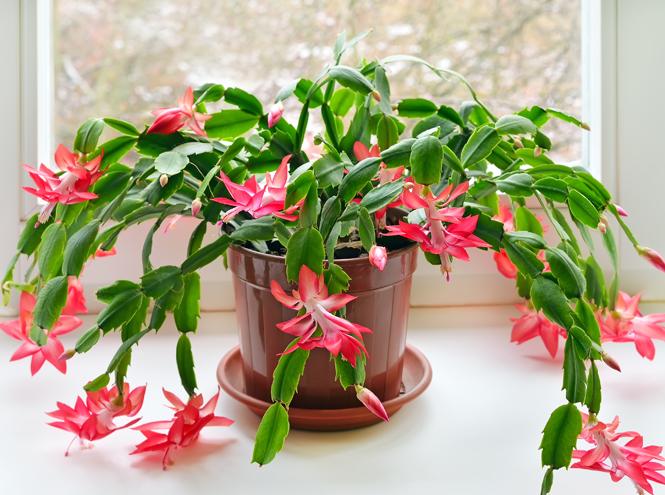 Фото №6 - 5 растений, которые заменят новогоднюю елку