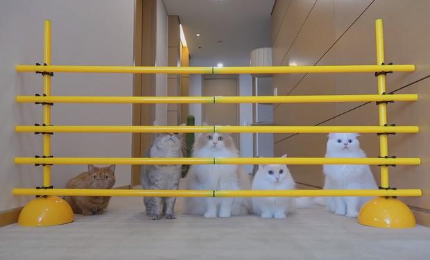 Фото №1 - Как разные по темпераменту коты преодолевают полосу препятствий (видео)