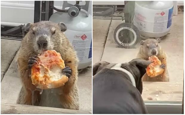 Фото №1 - Сурок сидит за стеклянной дверью, ест пиццу и дразнит собак (видео)