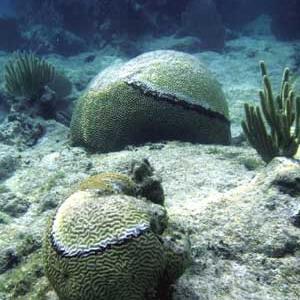 Фото №1 - Убийцу кораллов вырежут ножом