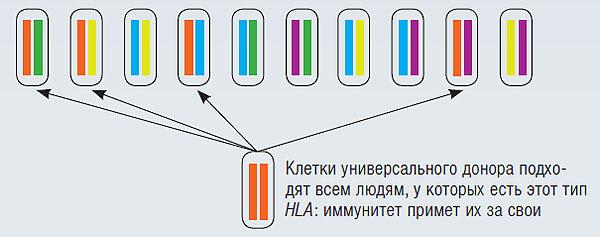Фото №5 - Стволовые клетки: кому это нужно