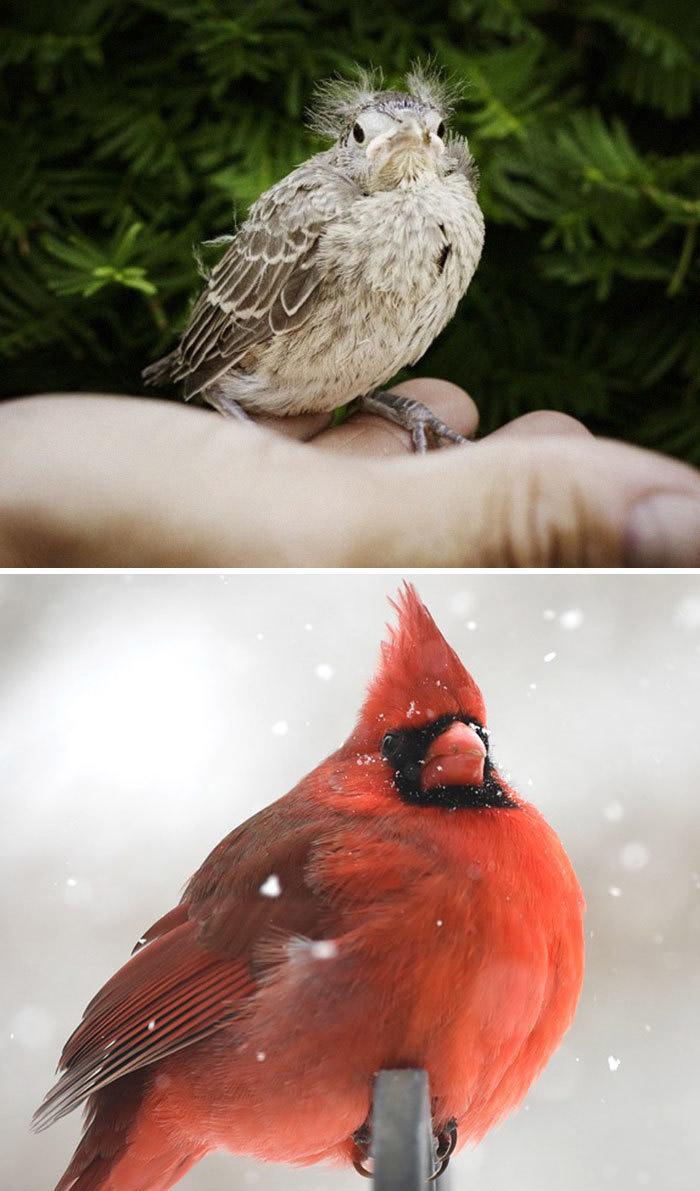 Фото №2 - 30 красивых птиц, которые были уродливыми птенцами (галерея)
