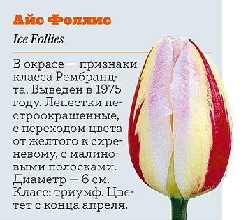 Фото №11 - Самые популярные сорта тюльпанов