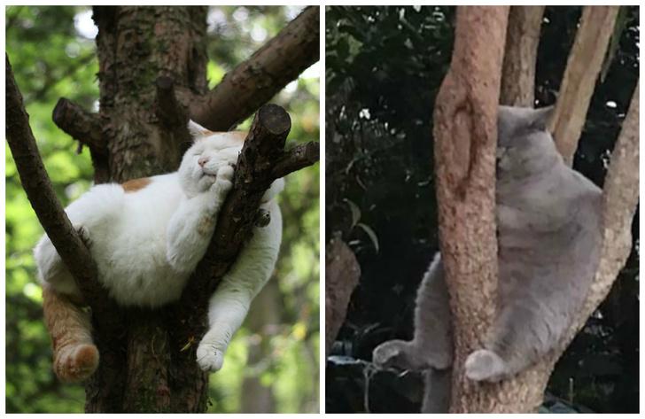 Фото №1 - 20 смешных котов, уснувших на деревьях