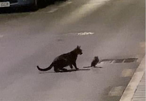 Фото №1 - Уличный кот напал на ниндзя-крысу, но не смог одолеть противника (видео)