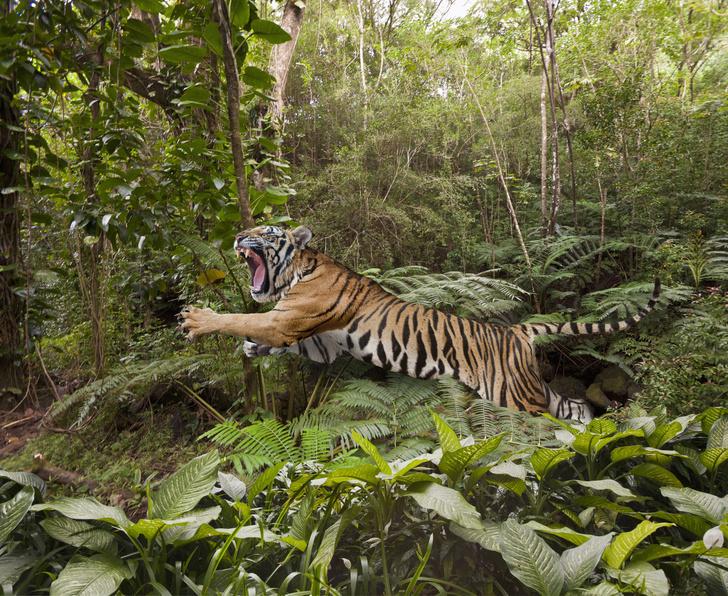Тигр в джунглях Таиланда