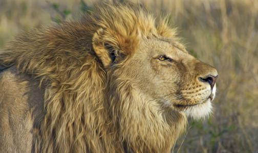 Фото №1 - В Таллинском зоопарке у усыпленного льва обнаружили коронавирус