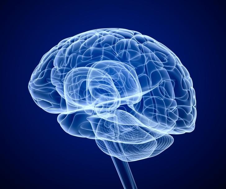 Фото №1 - В японской лаборатории выращена копия человеческого мозга