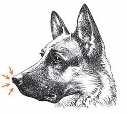 Фото №1 - Почему у собак холодный и мокрый нос?