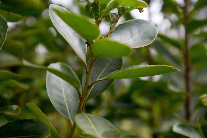 Фото №1 - Названо полезное свойство зеленого чая