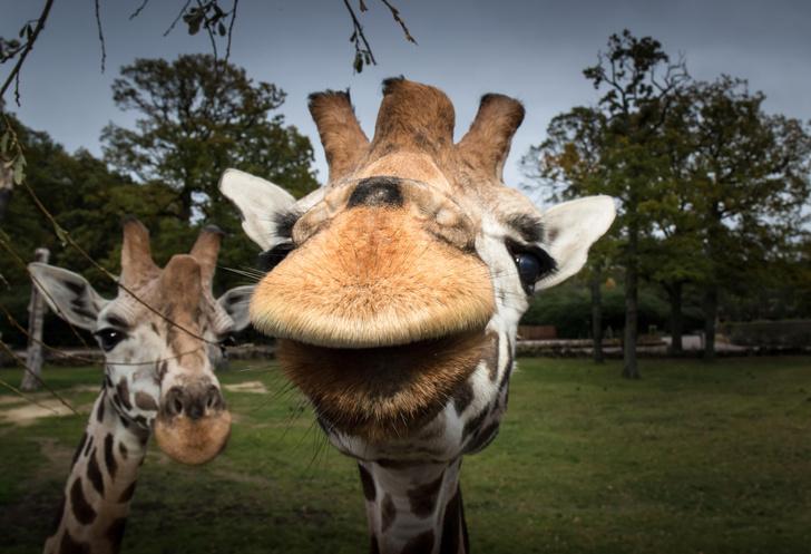 Фото №1 - Жирафы предпочитают обедать с друзьями