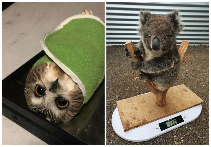 Фото №1 - 23 смешных и умильных фото животных во время взвешивания