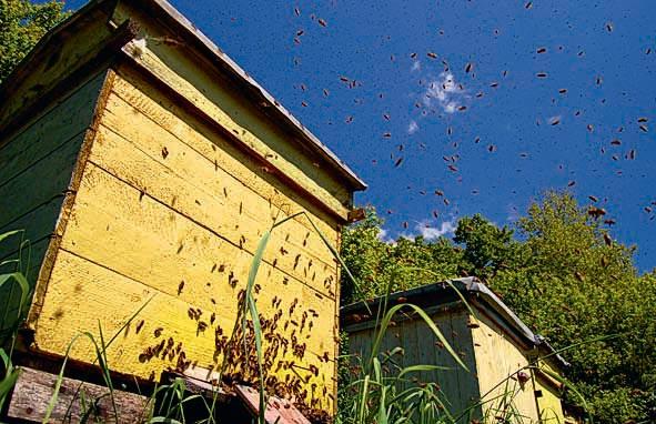 Фото №2 - Мёд против пчёл