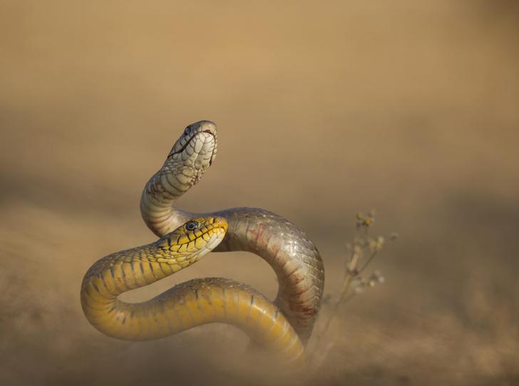 Фото №1 - Укус одной змеи может быть противоядием от укуса другой
