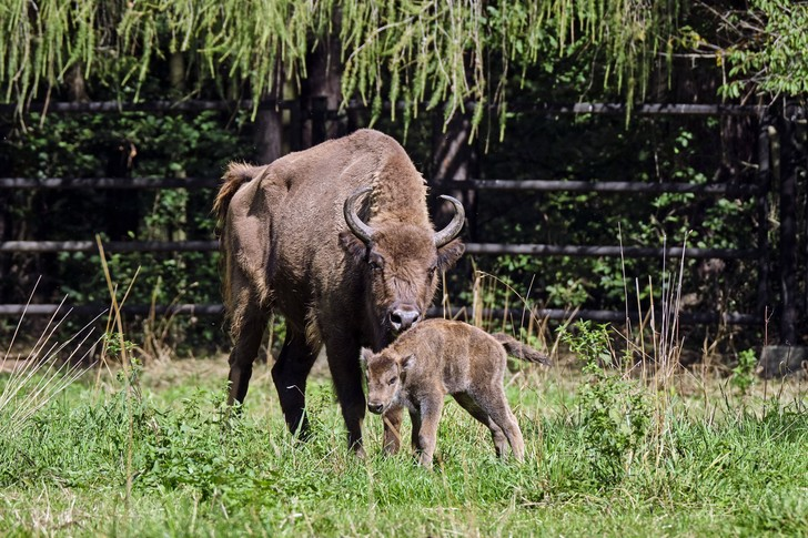 Фото №1 - Зубра исключили из числа видов, находящихся под угрозой вымирания