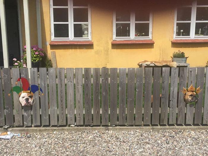 Фото №3 - Пес так любит смотреть на улицу из дырок в заборе, что хозяева нарисовали ему на досках веселые костюмчики (видео)