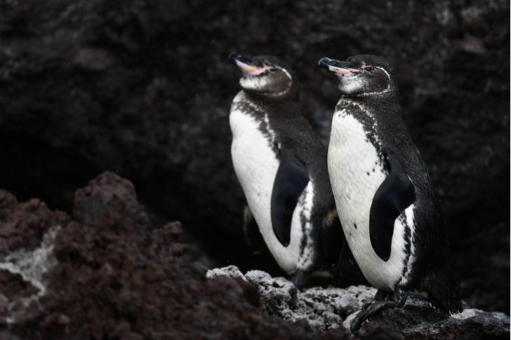 Фото №1 - На Галапагосе наблюдается рекордный рост числа пингвинов и бакланов