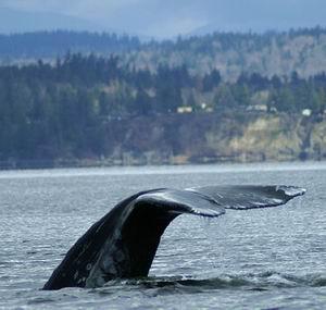 Фото №1 - Серые киты продолжают вымирать