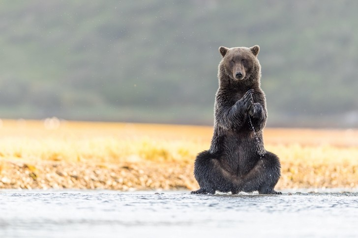Фото №1 - Медведь-йог
