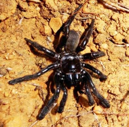 Фото №1 - В Австралии обнаружили самого старого паука в мире