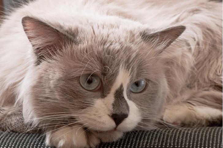Фото №3 - Генетика: котенок от дизайнера