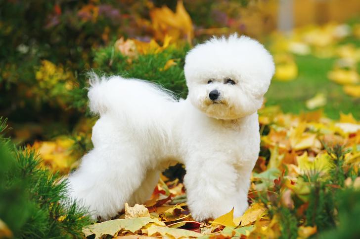 Фото №9 - 15 пород собак, которые не линяют
