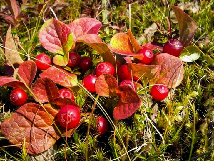Фото №4 - Лесные и болотные самоцветы: северные ягоды во всей красе