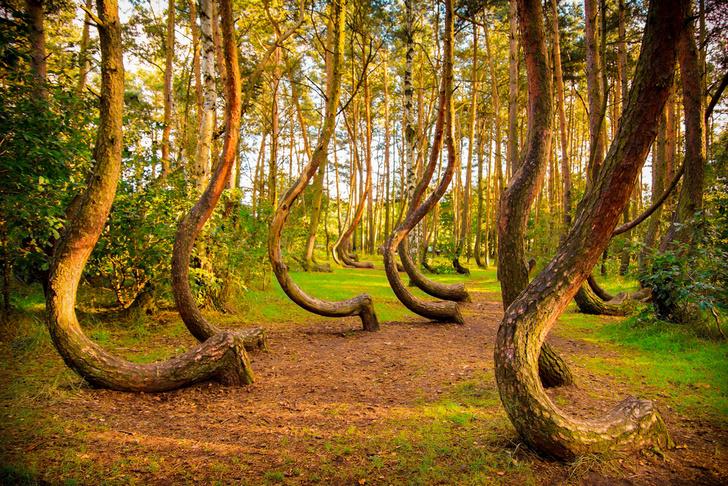 Фото №1 - Кривой лес