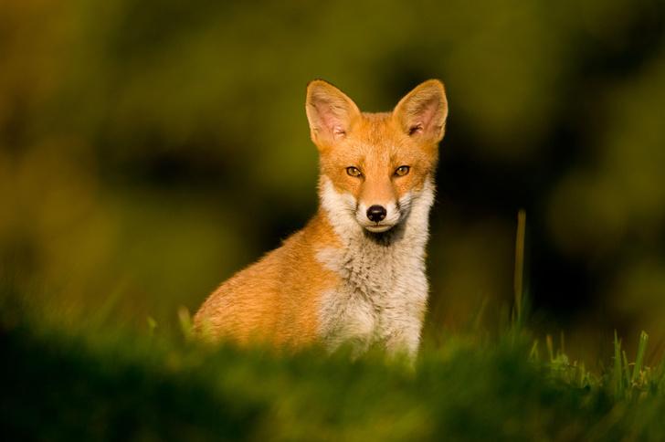 Фото №1 - Одомашненные лисицы оказались умнее диких