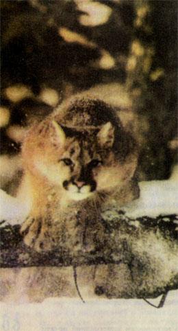 Фото №3 - Пума, которая исчезает сама по себе