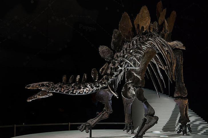 Фото №1 - Самцы стегозавров привлекали самок непрактичными отростками на спине