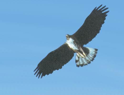 Фото №1 - Фасциатус, ястребиный орел
