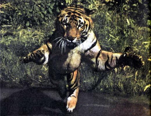 Фото №1 - Не кланяйтесь при тигре!