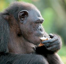 Фото №5 - Конкуати-Дули — территория шимпанзе