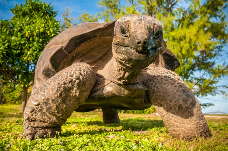Фото №1 - Медленно, но верно: гигантскую черепаху впервые застали за охотой