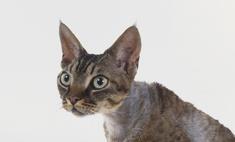 Описания самых редких пород кошек