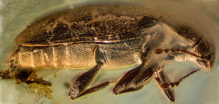 Фото №1 - Российские ученые обнаружили в янтаре неизвестный вид жуков