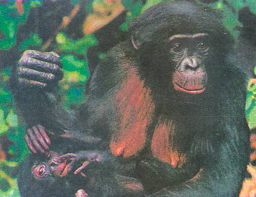 Фото №1 - Бонобо уходят...