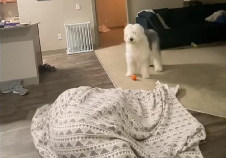 Фото №1 - Собака и ее хозяйка смешно играют в прятки (видео)