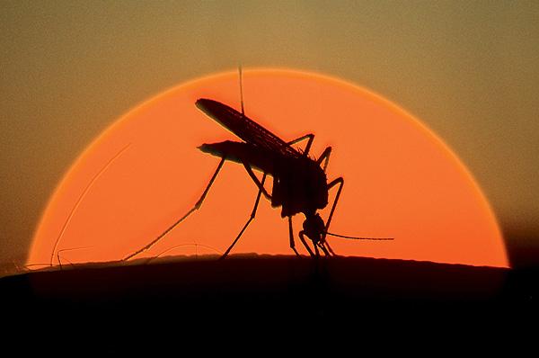 Фото №1 - Для чего нужны комары?
