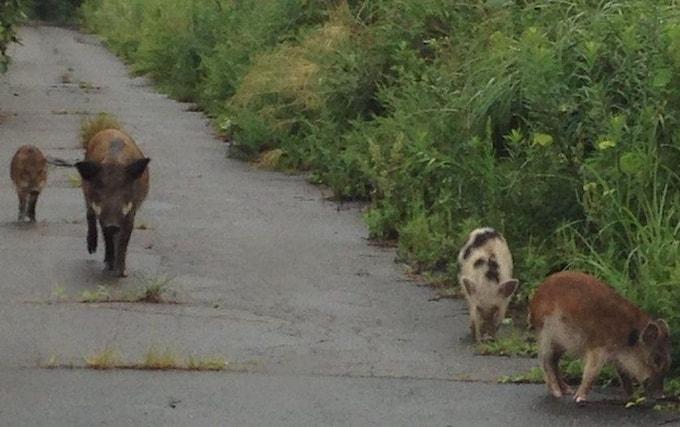 Фото №1 - В окрестностях Фукусимы появился новый вид животных