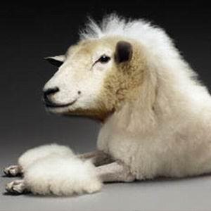 Фото №1 - Пудели овечьей породы