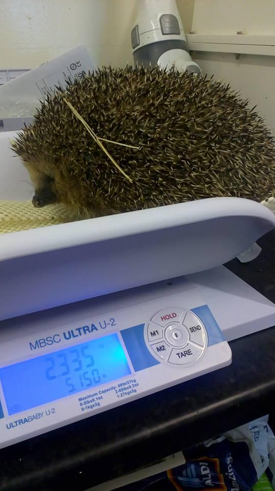 Фото №1 - Самый толстый в мире еж сел на диету