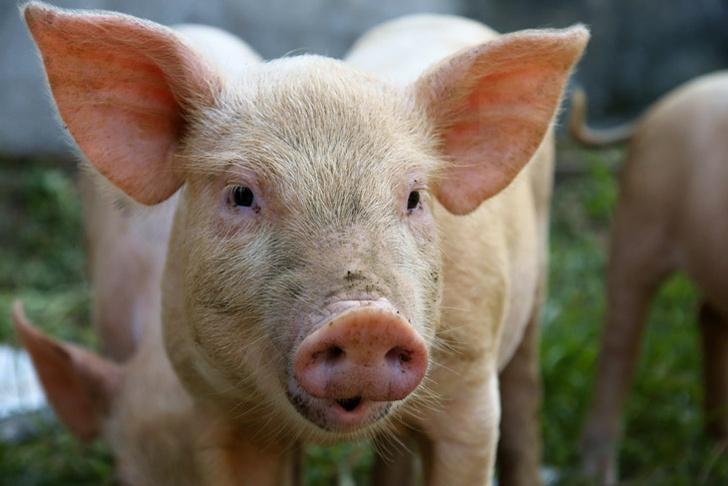 Фото №1 - Людям будут пересаживать органы генно-модифицированных свиней