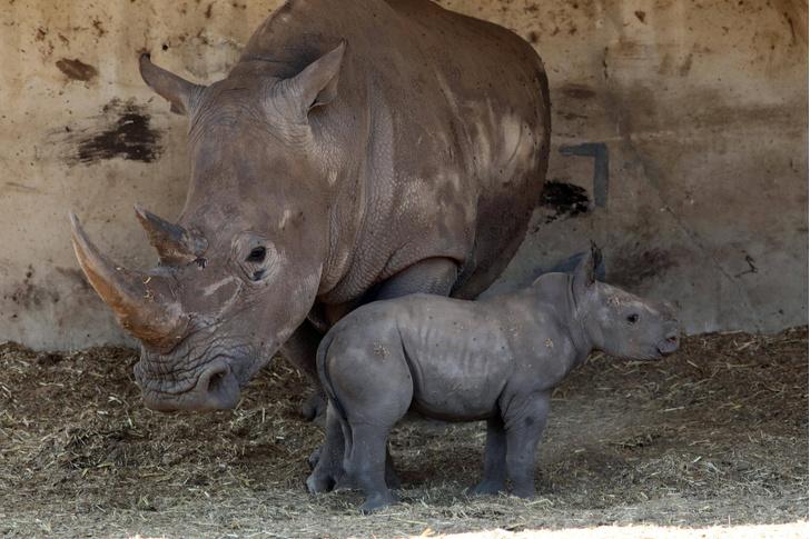 Фото №1 - У белых носорогов появился шанс на спасение